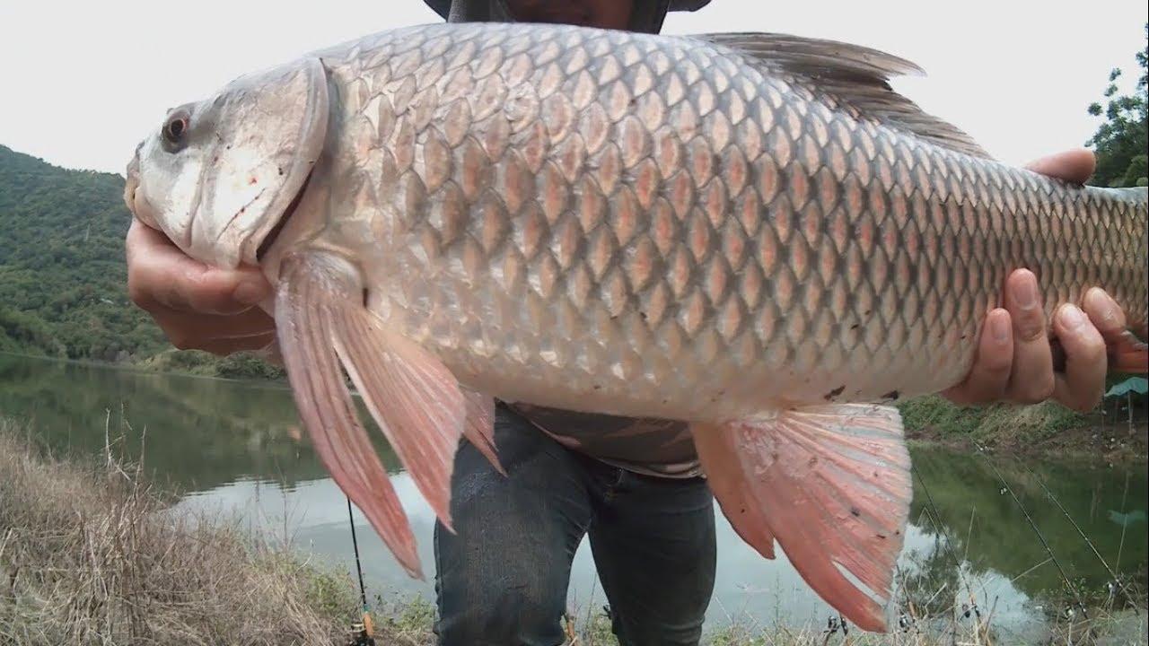 ตกปลายี่สก มาดูว่าตัวไหนดึงแรงสุด แต่ละตัวใหญ่ๆทั้งนั้นเลยครับ Fishing Lover EP.15