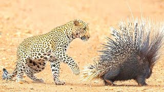 Размер не имеет значения, это все о силе | Маленькие животные нападают на гигантов
