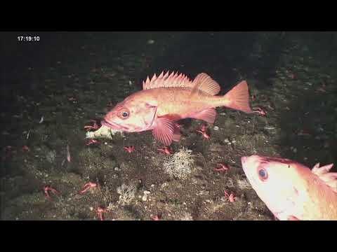 Rougheye Rockfish At Seamount
