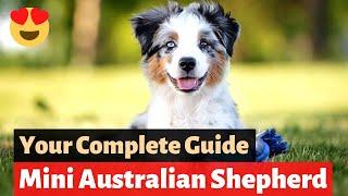 Mini Australian Shepherd: Interesting Facts and Information
