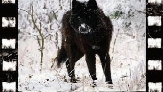 Powrót czarnego wilka.