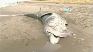8m超の巨大ザメが打ち上げ 北海道斜里町の海岸で 10 11 05