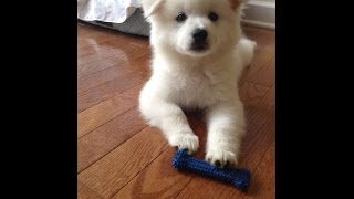 Hi! We are the cutest American Eskimo puppies, Sparky and Milky. We...
