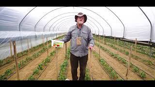 Uprawa papryki. Jak chronić rośliny przed chorobami?