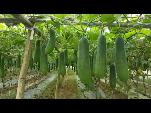 WOW! Amazing Agriculture Technology - Winter melon