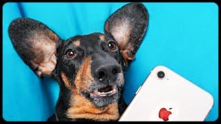 NO Gadget Day Challenge! Funny dachshund dog video!