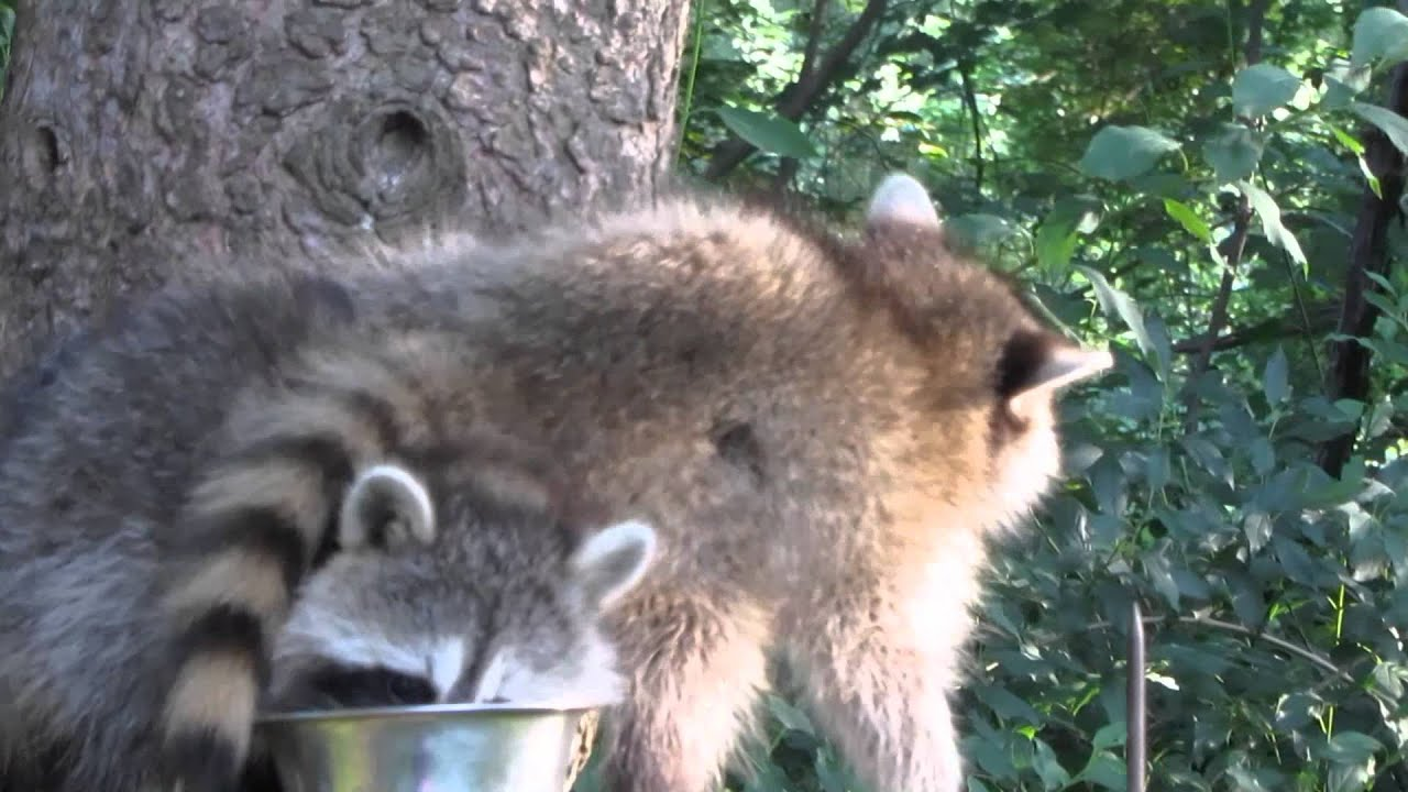 I sure do love my Backyard Raccoons - YouTube