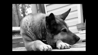 Памяти любимой собаки........