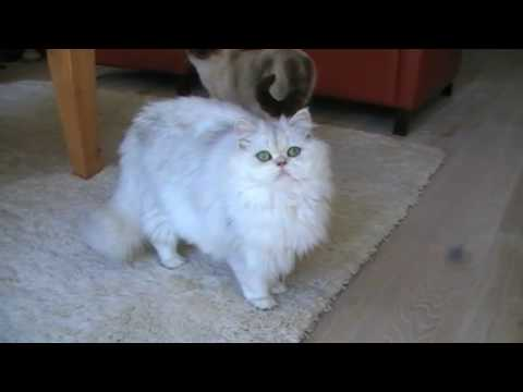 Perzische black chinchilla poes/ persian cat