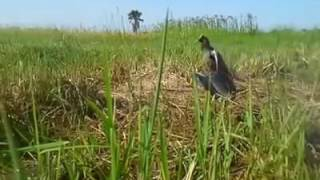 Racik Burung Ayam Ayam Dengan Lawan Buatan Part 13