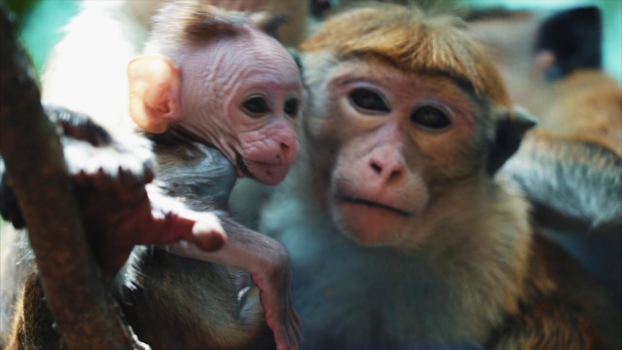 Scimmia porno canale