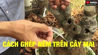 NGÔ MẠNH TUÂN: chia sẻ cách ghép nêm trên cây mai vàng