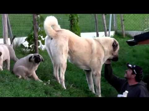 Anatolian Shepherd Dog - Coban Köpegi - Kangal; puppies, Kennel Ankabiro, Czech Republic