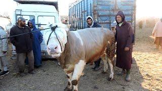 اليوم من سوق گيسر الخيال العلمي عجول ضخمة و أبقار جميلة و أغنام جيدة و ثمن مناسب