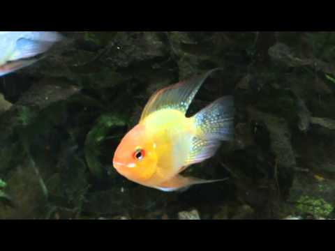 Balloon Gold Ram For Sale At Tyne Valley Aquatics Youtube