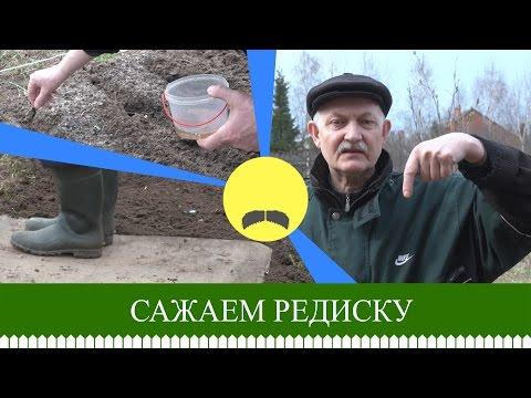 Как сажать редиску в открытый грунт