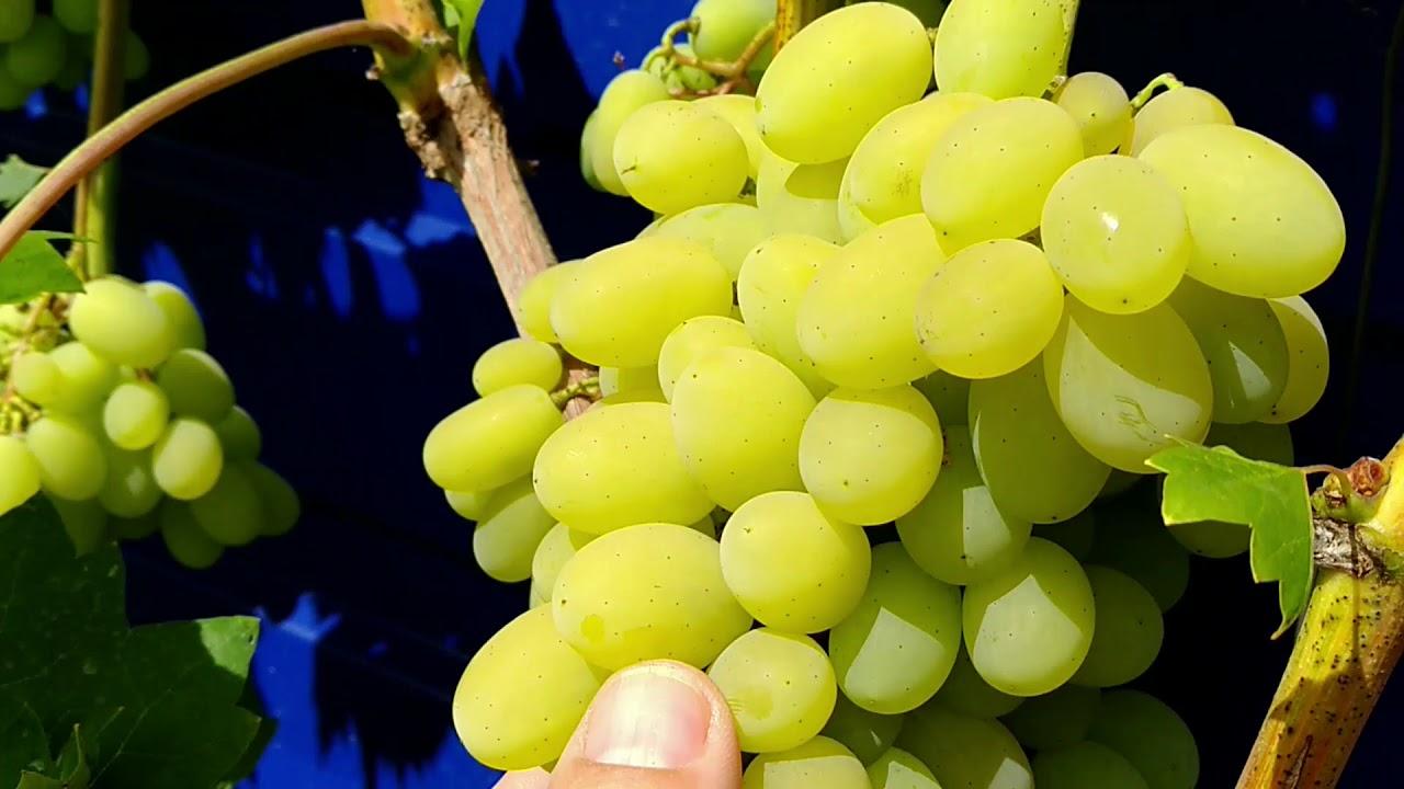 Плевен виноград картинка что