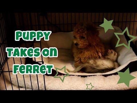 Puppy Takes On Ferret - Cute Animals Inside 4 - VOL. 51