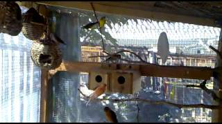 My Canaries and Finches Aviary