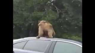 Raw: Monkey On The Loose In Orlando Suburb