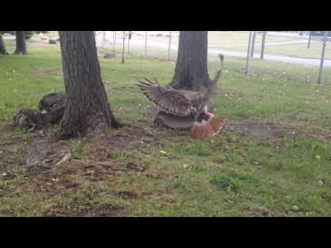 Hawk vs ground hog VMP