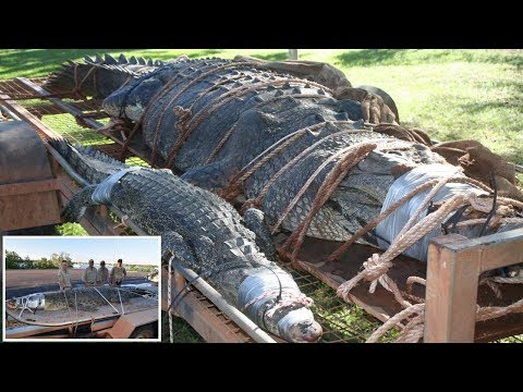 Biggest ever Katherine River CROCODILE big as Car captured after 8 years of chase