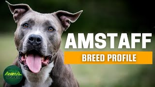 American Staffordshire Terrier | AmStaff Dogs 101 - A Great Protector with Undeserved Reputation