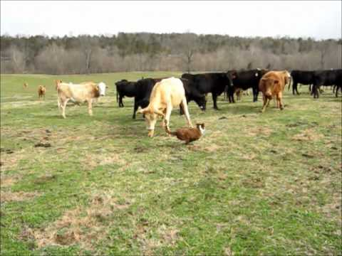 Gambit & Chatter Pushing Cattle Back