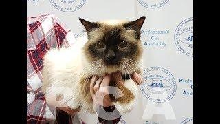 Бирманский кот PCA HEDWIN ROSE RED BLUE*RU & БЕЛЫЕ ЛАПКИ