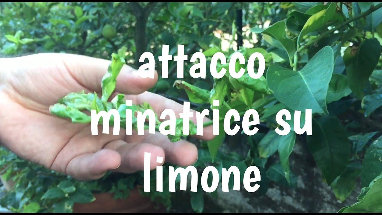 Malattie pianta limone minatrice diagnosi e cura info for Malattie del limone