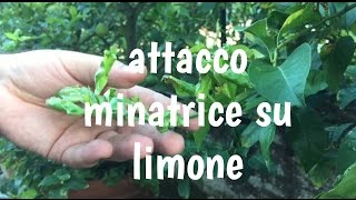 MALATTIE PIANTA LIMONE | minatrice diagnosi e cura| info FITOFARMACI