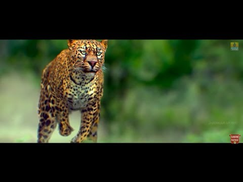 Maasthi Gudi - Tiger Attack In Village | Duniya Vijay, Amulya, Kriti Kharbanda | Fight Scene
