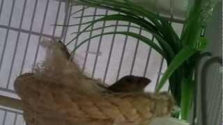 Hembra de Capuchino incubando 1