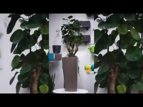 Полисциан растения.