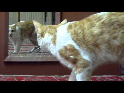 Funny - Another Cat in the Mirror