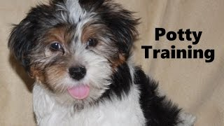 How To Potty Train A Shorkie Puppy - Shorkie House Training Tips - Housebreaking Shorkie Puppies