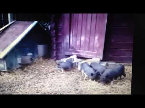3. micro - mini varken bestaat niet ! - youtube