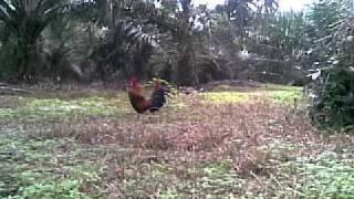 Koleksi Memikat Ayam 4