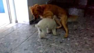 Video Cadela poodle toy enfrenta cachorro grande download MP3, 3GP, MP4, WEBM, AVI, FLV Agustus 2018