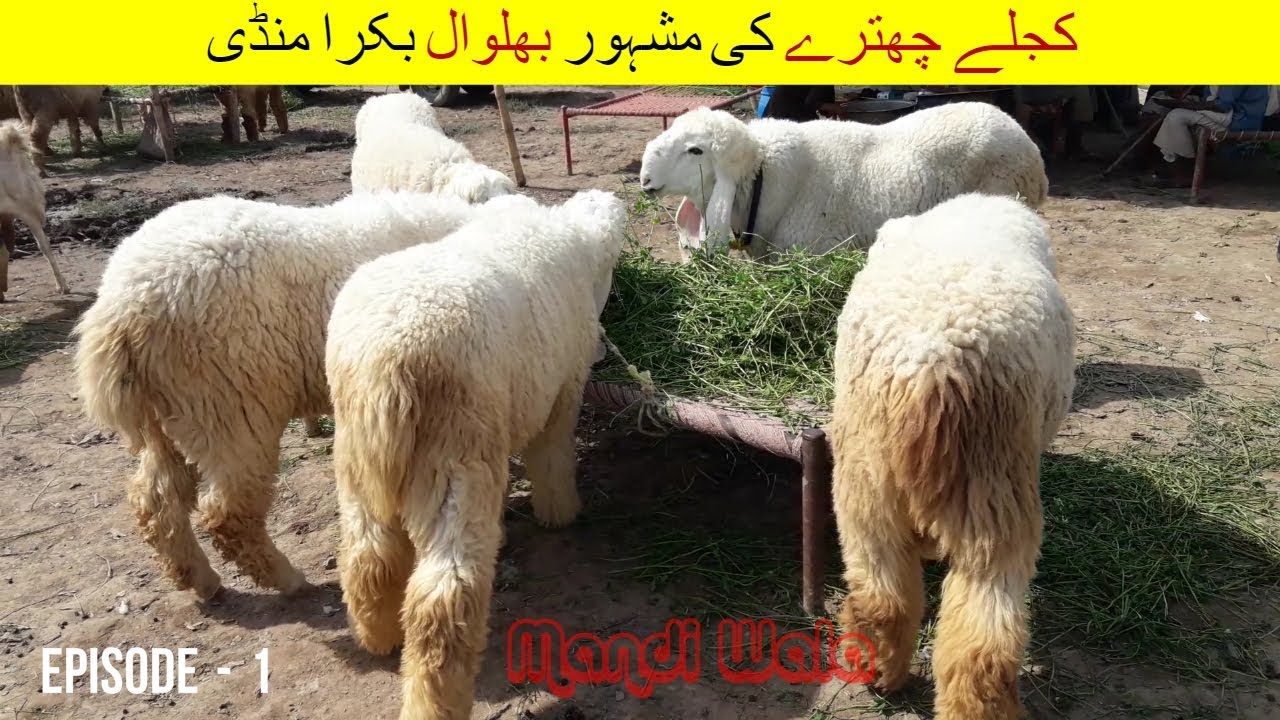 63 | Bakra Mandi 2018/2019 Bhalwal | Episode 1 | Video in Urdu/Hindi |  Kajla Chatra Bakra Tutorial
