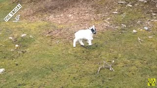 Lamb Rescue