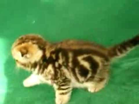Котенок скоттиш фолд черный мрамор на золоте