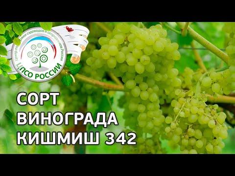 Сорт винограда Кишмиш