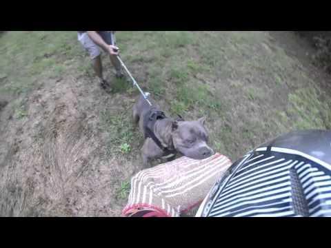 Cane Corso Bite Work - YouTube
