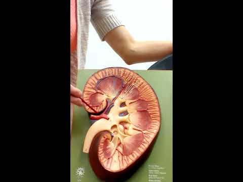 Urinary System (Anatomy and Physiology II)