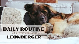 a day in the life of a Leonberger dog in Chicago