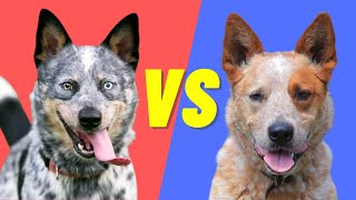 Blue Heeler vs Red Heeler  Difference between the Australian Cattle Dogs