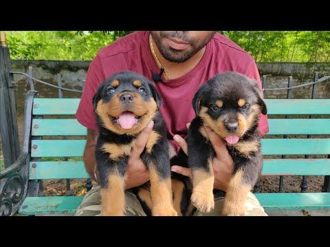Rottweiler Puppy For Sale 15000/25000/45000 / 9896504757/  Doggyz World