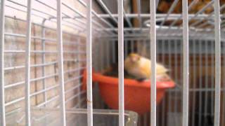 Canary Male And Female