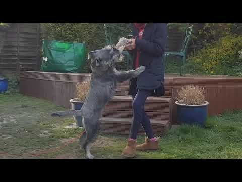 Standard Schnauzer at play